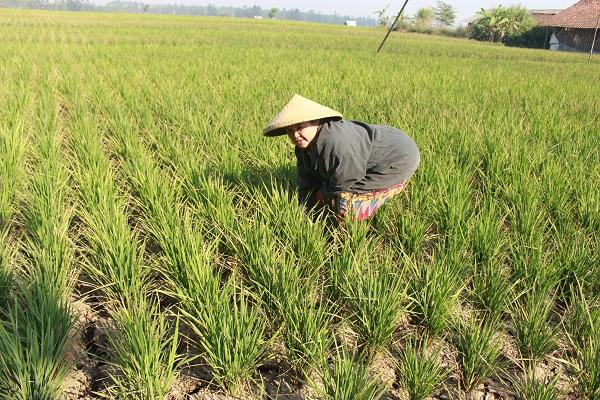 Salah seorang petani di Desa Lebakwangi, Kecamatan Arjasari, Kabupaten Bandung, Selasa (19/09/2017) sedang memeriksa tanaman padinya yang telah dilanda kekeringan akibat musim kemarau. (Reival Akbar/jurnalposmedia)